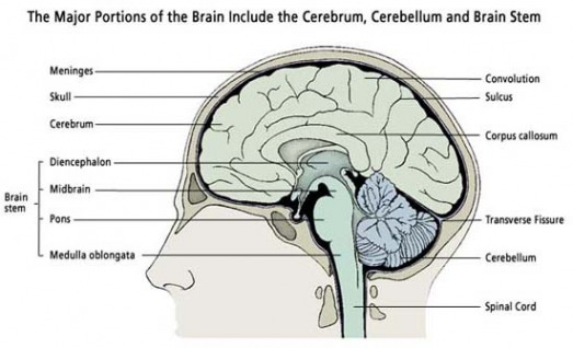 ap psychology review - brain structure, Sphenoid